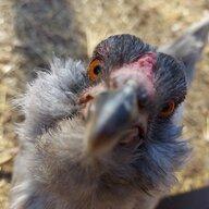 Lovechickens!