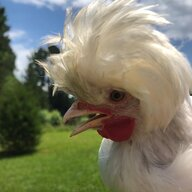 Chicken-lovebirdchihuahua