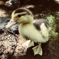 Duck Lover88