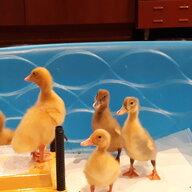 Magnolia Ducks