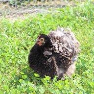 Chickendude29465