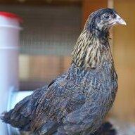 gallo pinto