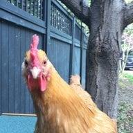 Chickens_4Life