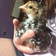 Savanna's chickens