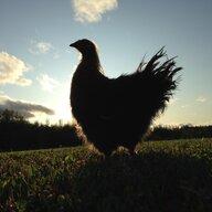 Chloe+chickens=LOVE