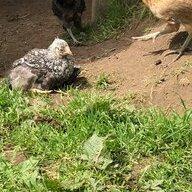 ChickenLadyLaura