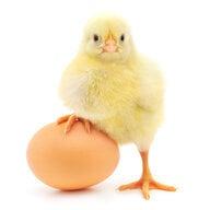 'Murican chicken-er