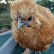 Cherry Chickens