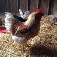 ChickenJV12