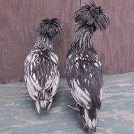Northern Chickens