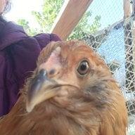 The chicken whisperer 5