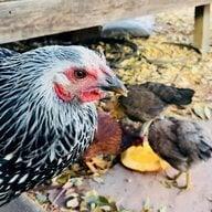 cluck clucking