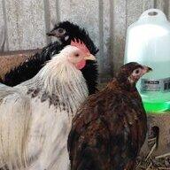 babbychickens