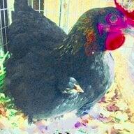 urban chicken mom