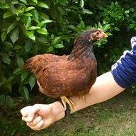 Carolina - Chickens
