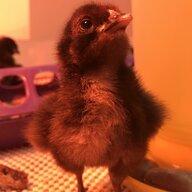 Chickenchick33