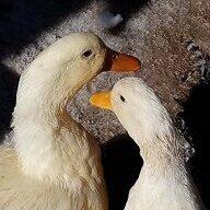 Duckshack