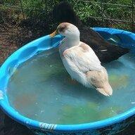 DuckWhisperer06