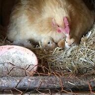 chicksandchores