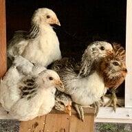 corgis-con-chickems