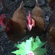 Kk the chicken lover