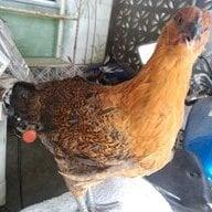 ChickStavie