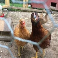 Chickenlaady