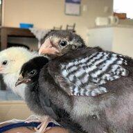 ChickenLove3