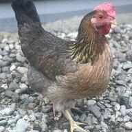 Chicken-mama-707