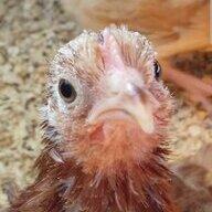 Chickensgalore11
