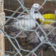 Gooseluvergurl