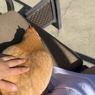 Chickenchiquita