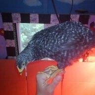 Rock_birdes