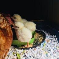 Chickadee337