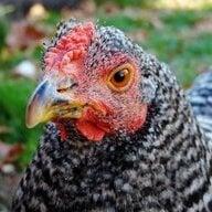 K-12 Chickens