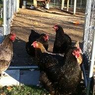 Nixon's Chicks