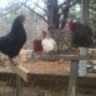 MVchickens
