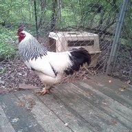 DPC poultry