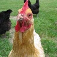 chickenneighbor