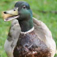 Duckman31