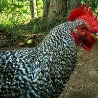 Chickadee01