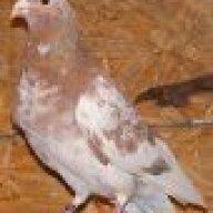 hookedonpigeons