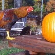 off-grid hen