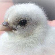 Hope for chicks