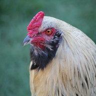 chickadde