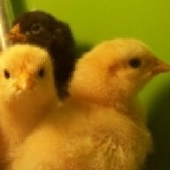 MI chickens