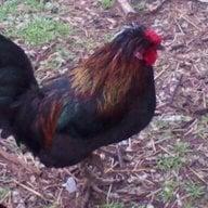 chick123600