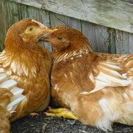 Mamma_Duck04