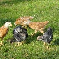chickkais67