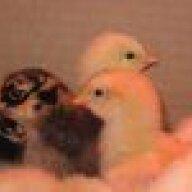 chickcorner